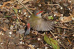 A Red-browed Finch flights almost vertically after searching for food on the ground in the Bunya Mountains National Park, Queensland.  //  Red-browed Finch - Ploceidae (Estrildidae): Neochmia temporalis. Length to 12cm.  Found in coastal woodland and grassland habitats from western Cape York south to eastern South Australia. Isolated introductions in south-west Western Australia, probably cage-bird escapees. Feeds in small parties on the ground or in seeding grasses. Common.