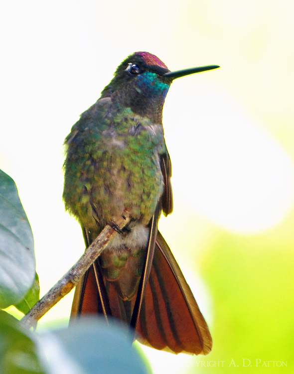 Male magnificent hummingbird