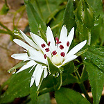 Star Chickweed (Stellaria pubera) at Bunches Bald, Blue Ridge Parkway, NC, USA