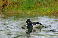 Ring-necked Ducks (Aythya collaris) drake and hen mating.  Pacific Northwest