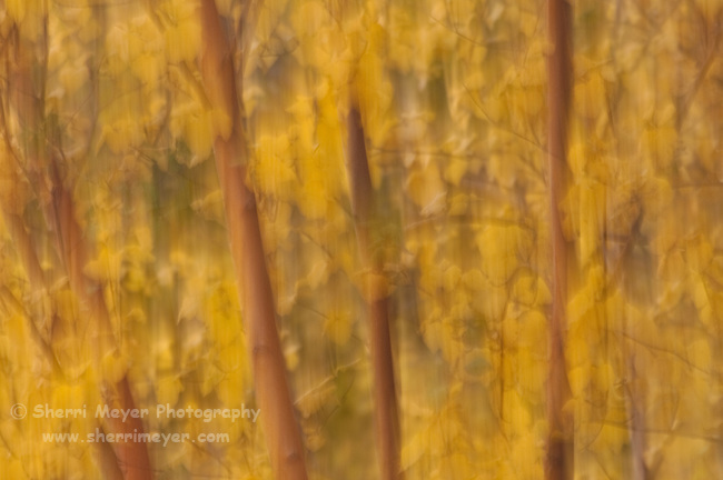 """Abstract Aspens 2,"" along scenic Highway 395, Eastern Sierra, California."