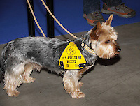 Yorkshire Terrier at the international dog show in Prague, photographed in profile, wearing the Pet assistant harness.