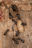 Wegameise, Nest in Totholz mit Puppe, Puppen, Lasius s.str., Lasius cf. platythorax, Black Ant