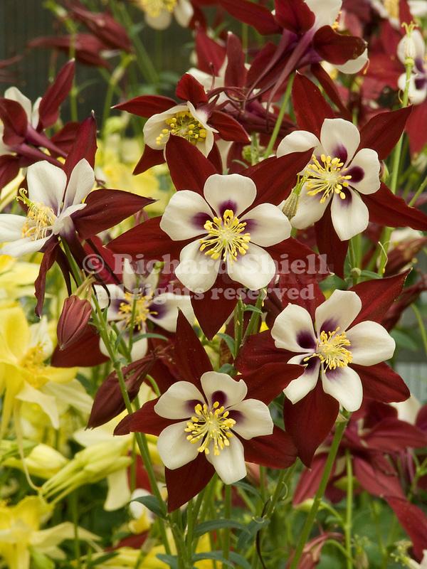 Columbine, Aquilegia Swan Burgundy & White