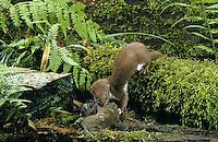 Mauswiesel, mit erbeuteter Maus, Beute, Maus-Wiesel, Kleines Wiesel, Marder, Mustela nivalis, least weasel