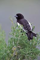 Lark Bunting - Calamospiza melanocorys - breeding male