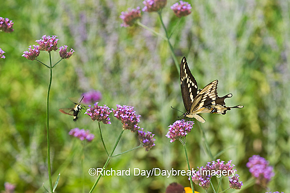 03017-00812 Giant Swallowtail (Papilio cresphontes) on Brazliian Verbena (Verbena bonariensis) Marion Co.  IL