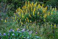 Lupinus arboreus (Yellow Bush Lupine) california native plant flowering in drought tolerant garden
