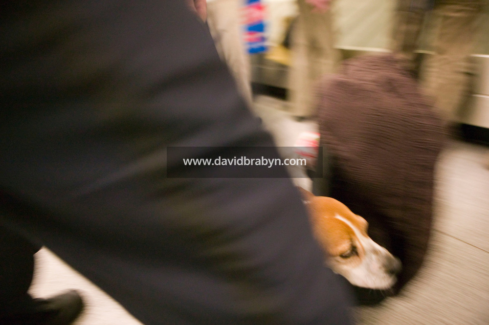 11 April 2006 - New York City, NY - 3 year-old Beagle Alexandra, aka Alex, guided by her handler, officer Jim Amstrong of the K9 unit of the Agricultural division of the Custom and Border Protection agency, searches through passengers' luggage for illegally imported food at the JFK airport in New York City, US, 11 April 2006. Photo Credit: David Brabyn.