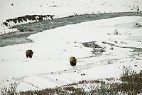 Grizzly bears walk across the snow in Atigun Canyon, Brooks Range, Alaska