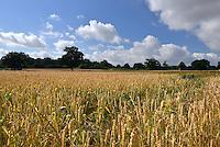 Summer field of ripening wheat, Berkshire, Uk