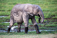 An elephant calf is photographed in Amboseli National Park in Kenya. 1/24/2017 IFAW/Julia Cumes