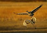 Sandhill Cranes, New Mexico