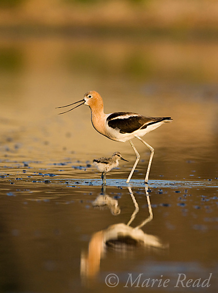 American Avocet (Recurvirostra americana), adult (calling) with chick,  Orange County, California, USA