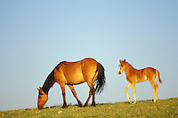 Wild Horse mare with young colt.  Western U.S., summer..(Equus caballus)