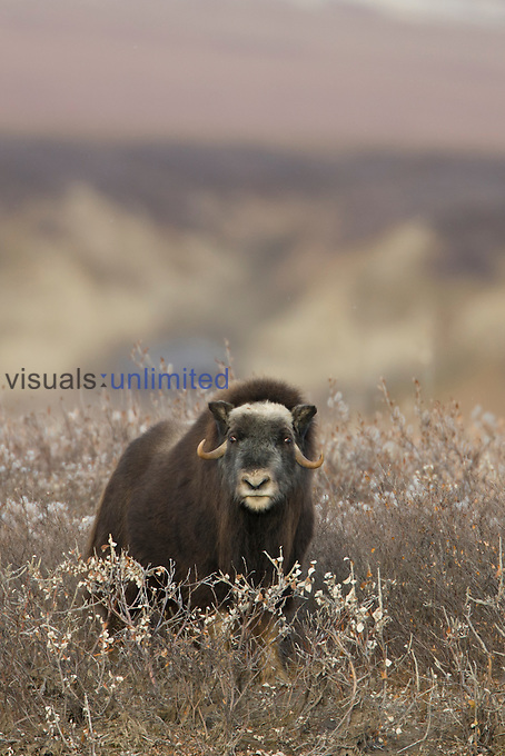Muskox on arctic tundra, ANWR, Alaska, USA