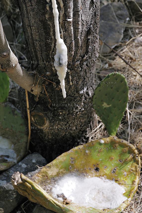 Castelbuono, coltivazione della  manna nel frassineto.<br /> Castelbuono: cultivating manna in the wood ash.