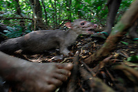 This is a Blue Duiker (forest antelope) it is the prized food for the Pygmies...These folks all had shelter for the night in about two hours.  Women bend the branches to create a superstructures and then go off in the woods to get the right kind of leaves.  The Forest Hunting camps we hiked to are about 10k to the camp and then another 10K to where they string their nets.   Boys who are going thru the end of the circumcision ceremony called Kumbi accompanied the pygmies to the camp and were housed off to the side.  They were whipped every morning and then sent off into the forest to hunt or fish.