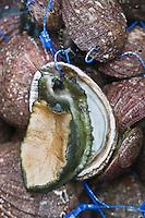 Europe/France/Bretagne/29/Finistère/Roscoff:  Ormeaux sauvages aux Viviers Gaby Béganton