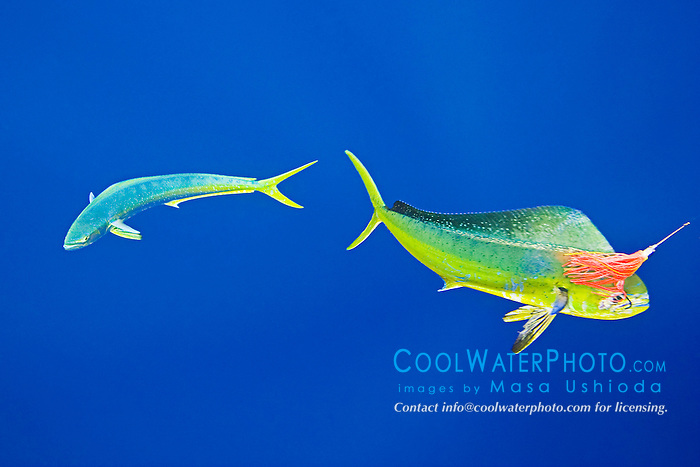 mahi mahi, common dolphinfish or dorado, Coryphaena hippurus, hooked on trolling jet lure, being accompanied by the other free-swimming mahi mahi which is trying to attack the lure, off Kona Coast, Big Island, Hawaii, Pacific Ocean