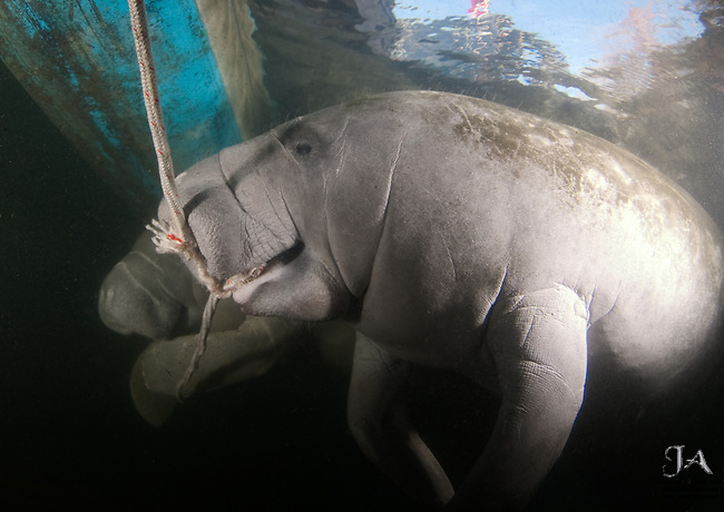 Two Manatees chewing on a boat's anchor line