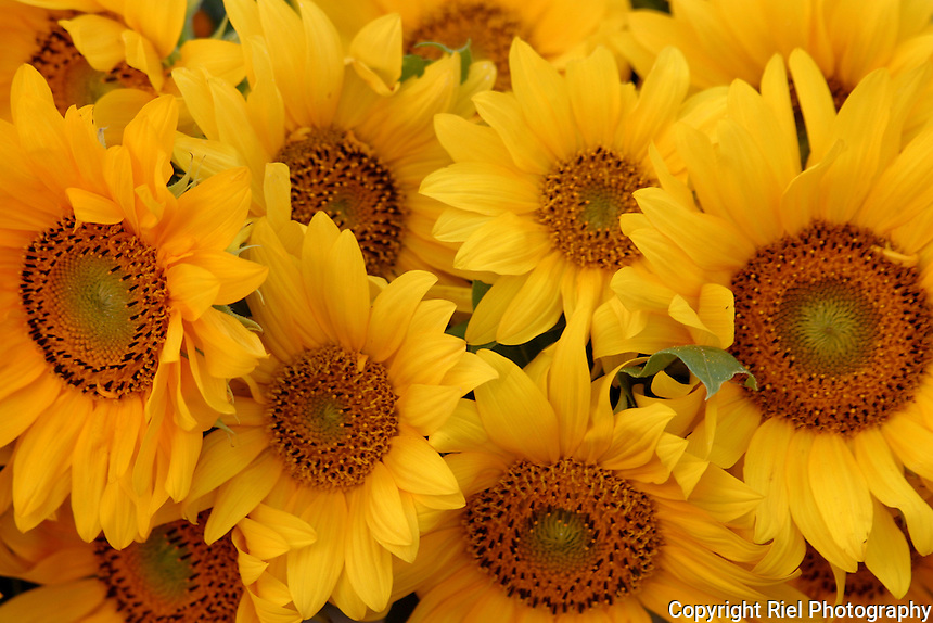 These sunflowers were captured under the tent of an outdoor market which provided perfect warm lighting, Slovenia