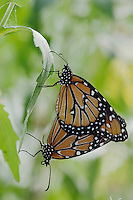 Queen, Danaus gilippus, pair mating, Willacy County, Rio Grande Valley, Texas, USA, June 2006