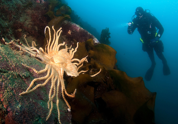 Scientific diver looks on at Giant starfish (Labidiaster annulatus), Paradise Harbour, Antarctic peninsula