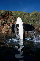Keiko star of Free Willy movie, orca or killer whale, Orcinus orca, high spyhop showing pectoral fins, Vestmannaeyjar, Westman Islands, Iceland, Klettsvik Bay, Pacific Ocean