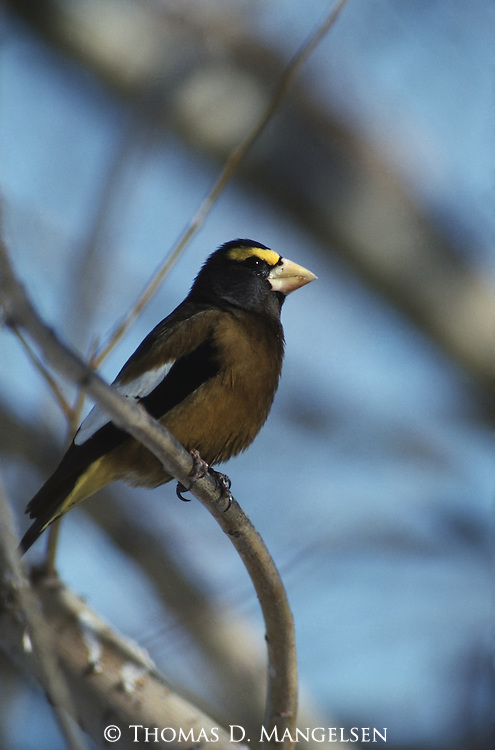 Evening Grosbeak perched in a tree in Wyoming.
