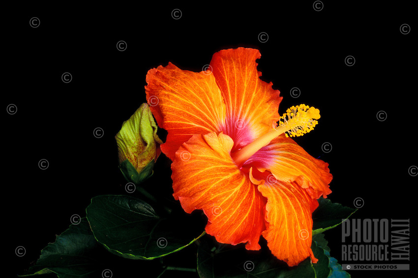 A close-up of an orange, yellow and red varigated hibiscus blossom