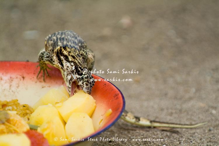 Northern curly-tailed lizard (leiocephalus carinatus) near Cienfuegos, Cuba.