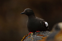 Breeding adult Pigeon Guillemot (Cepphus columba) loafing in the intertidal zone. St. Lazaria Island, Alaska. June.
