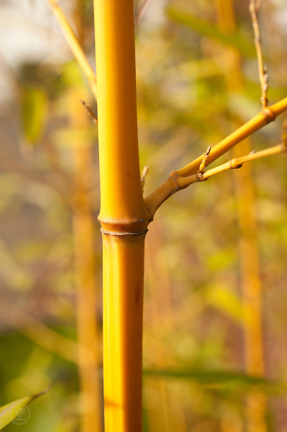 Detail of a culm golden fish-pole bamboo (Phyllostachys aurea).