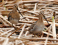 Pair of adult Wilson's snipe
