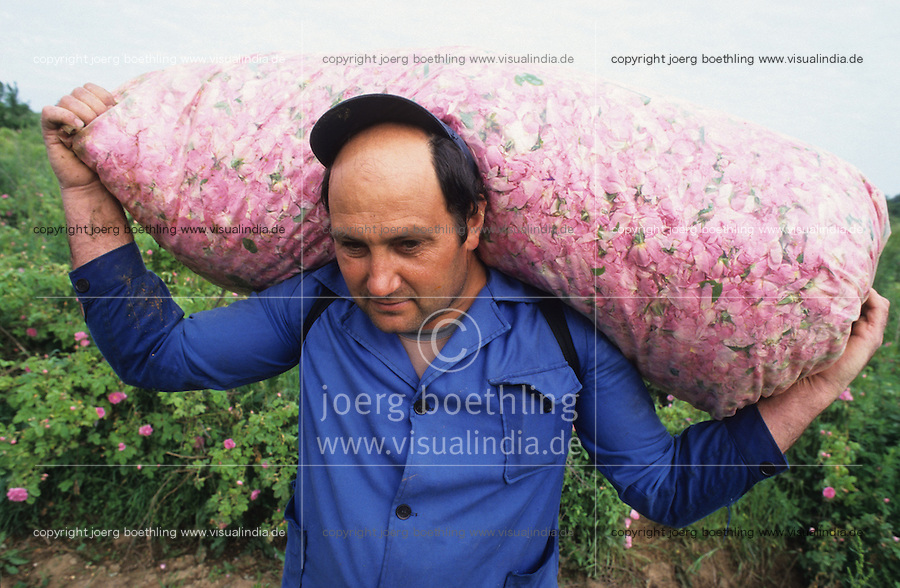 BULGARIA Kazanlak, farmer harvest in the morning damascena rose blossom in the rose valley , the rose blossom are distilled for essential oil and rose water which is used for cosmetics and perfume / BULGARIEN Kazanlak, Farmer ernten Blueten der Damscena Rose , aus den Rosenblaettern wird Rosenwasser und Rosenoel destilliert, der als Grundstoff fuer Kosmetika und Parfuem verwendet wird - <br />