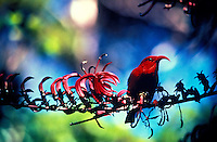 A vibrant red iiwi, or honeycreeper, (species: vestiaria coccinea) native to Hawaii, perches on a tropical forest branch (species: trematolobelia)