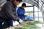 ISHIONAMAKI, JAPAN - DECEMBER 5: Student Kenta Endo Murata, age 17, cleans spring onions in a green house at Kita High School supported by Save The Children Japan on December 5, 2011, in Ishionamaki, Japan. Save The Children Japan gives out scholarships to families and assists children who's lives were disrupted and devastated by tsunami. Many children lost parents, family members and where traumatized during the tsunami. These so called Gakudos are supported by the ngo. Northeastern Japan's coastline was struck by an earthquake measuring 9.0 on the Richter scale and a Tsunami on March 11, 2011 which destroyed villages and livelihoods for hundreds of thousands of people. Almost 16,000 dead, thousands missing, more than 700,000 properties destroyed and an estimated 387,000 survivors lost their homes. Its estimated that it will take more than five years to rebuild. The cost is estimated to 309 billion U.S. dollars, the world's most expensive natural disaster. Many children suffered especially with school destroyed, education interrupted and the loss of family members took a heavy toll. Save The Children Japan runs many programs to assist families and children in the tsunami stricken areas. one of the few ngo's working here they assist with food, hygiene products, shelter, counseling, and many after school and pre school programs and scholarships for families who lost their livelihood after the tsunami. (Photo by Per-Anders Pettersson)