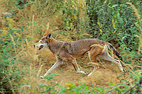 Red Wolf (Canis rufus) in endangered species breeding program (U.S. Fish & Wildlife).