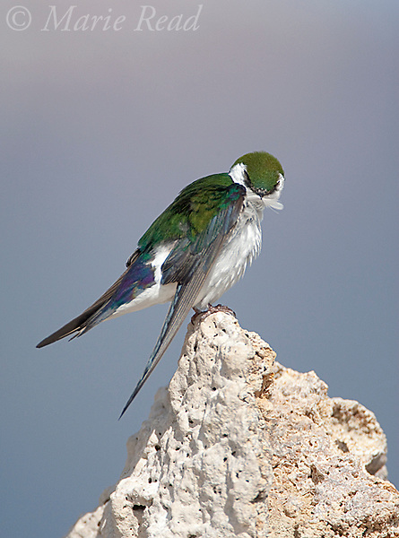 Violet-green Swallow (Tachycineta thalassina), male preening while perched on tufa, Mono Lake, California, USA