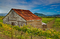 Unique fine art landscape image of historic, weathered barn with rusting red roof and brown and white patterns of weathered wood, nestled on edge of vineyard near Windsor and Santa Rosa, California, peeking up over a small hillside of vineyards, with dirt farm road leading into center of image, towards California rolling hills with small pine trees in background and patterns of white whisps of clouds streaking across blue sky.