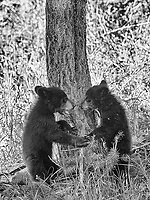 I had a few opportunities to photograph black bear cubs with my tour group on this trip.