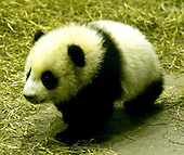 Washington, D.C. - November 29, 2005 -- Giant panda cub Tai Shan is shown in his habitat at the National Zoo in Washington, D.C. on November 29, 2005.  The four-and-a-half-month-old Tai Shan is the first successfully-bred panda at the zoo.  He weighs  9.5 kg (21 pounds), and had his media debut today. Tai Shan will meet the general public December 8, 2005..Credit: Ron Sachs / CNP