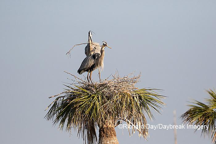 00684-05205 Great Blue Heron (Ardea herodias) male bringing stick to female at nest site.  Viera Wetlands Brevard County FL