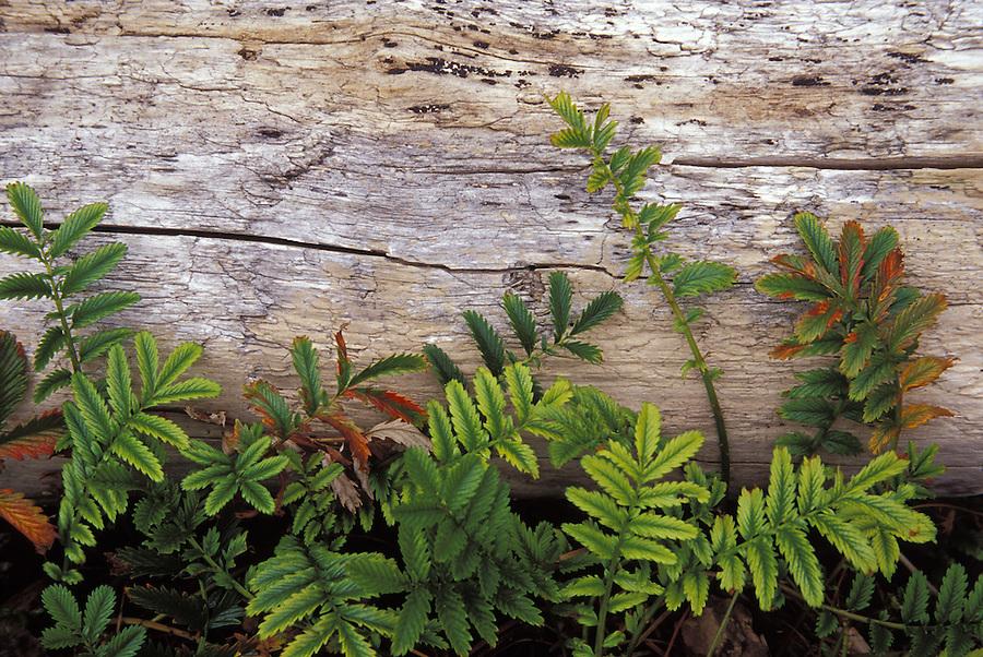 Pacific Silverweed (Potentilla anserina), Deception Pass State Park, Fidalgo Island, Washington