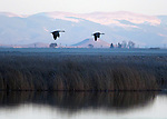 March 11, 2016 - Monte Vista, Colorado, U.S. -  At dusk, two Sandhill Cranes fly over southern Colorado's wetlands with the Sangre de Cristo mountains in the background.<br /> <br /> Each year more than 20,000 Sandhill Cranes migrate through the wetlands of the San Luis Valley's Monte Vista National Wildlife Refuge, Monte Vista, Colorado.  The Rocky Mountain population of the Greater Sand Hill Cranes spends more time in the San Luis Valley than at either of their wintering or breeding grounds.  The peak springtime migration is mid-March.