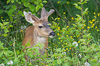 Young Sitka black-tailed deer with antlers in spring velvet, Kodiak Island, Alaska.