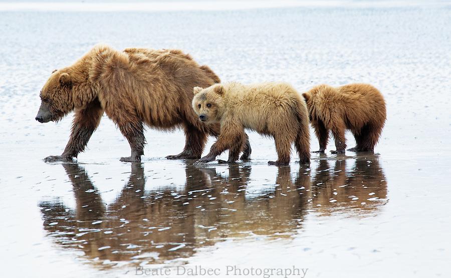 Alaskan brown bear sow and cubs clamming along a beach in Lake Clark National Park, Alaska