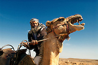 A popular experience is to tour Israel's Negev Desert on camelback with a Bedouin guide. Most of the Bedouin tribes in the Negev hail from the Hejaz, a region in the north of the Arabian Peninsula. Bedouin are not conscripted into the army like most Israelis, but many do utilize their traditional skills and serve as scouts and desert trackers. An estimated 5%-10% of the Bedouin volunteer for the Israeli army each year.