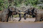 African Elephants, Mpala Research Centre, Nanyuki, Kenya